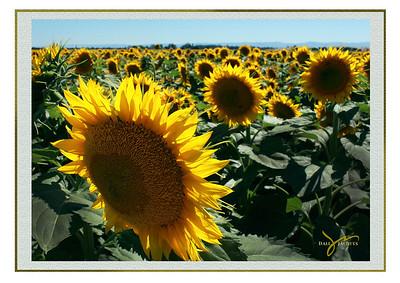 Sunflowers, California